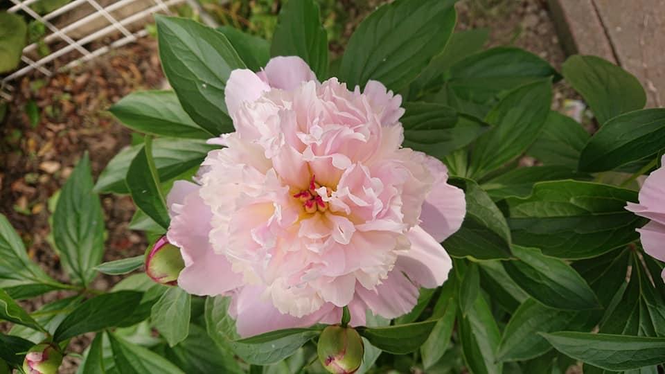 牡丹・芍薬・薔薇・クレマチス等々の花が咲きました!