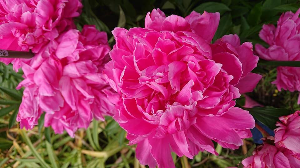 今年も牡丹の花が綺麗です!